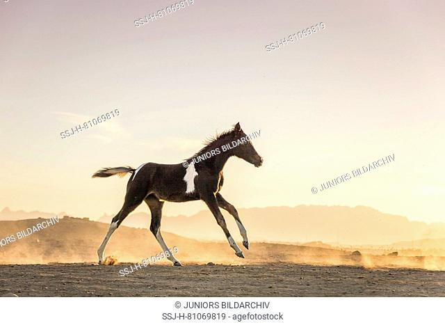 Pinto, Paint Horse. Filly-foal at sunset, galloping in the desert. Egypt