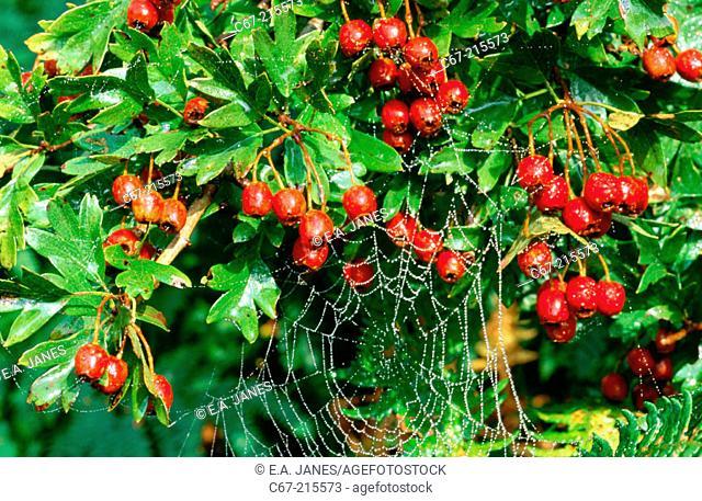 Hawthorn Berries (Crataegus monogyna)