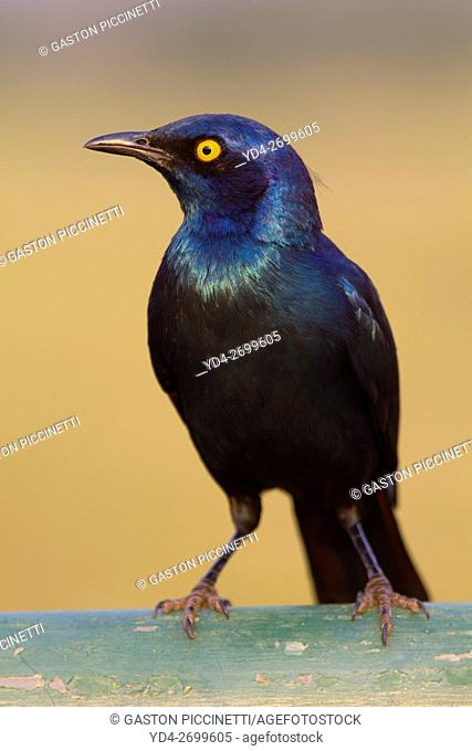 Cape glossy starling (Lamprotornis nitens), Kruger National Park, South Africa