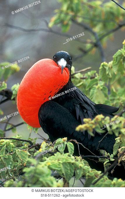 Displaying male Fregate bird. Galápagos Islands, Ecuador