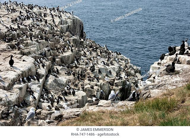 Guillemots, kittiwakes, shags and a puffin on the cliffs of Inner Farne, Farne Islands, Northumberland, England, United Kingdom, Europe