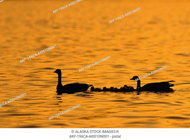 Canadian Geese with /nGoslings Swim AK Sunset summer scenic