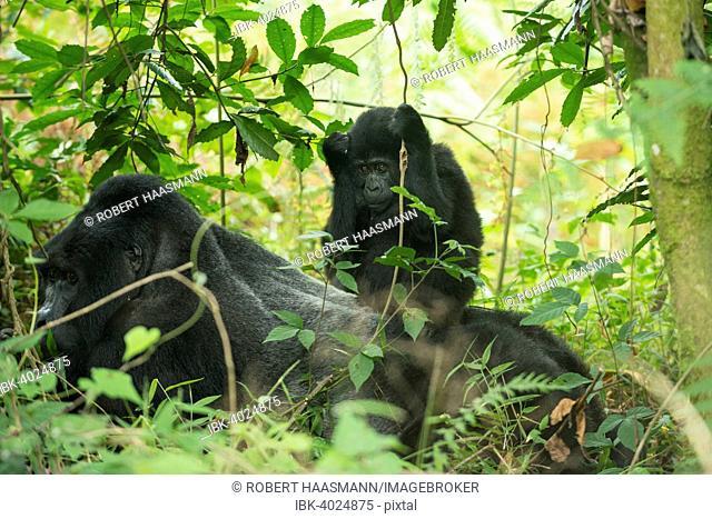 Mountain Gorilla (Gorilla beringei beringei), young sitting on male, Bwindi Impenetrable National Park, Uganda