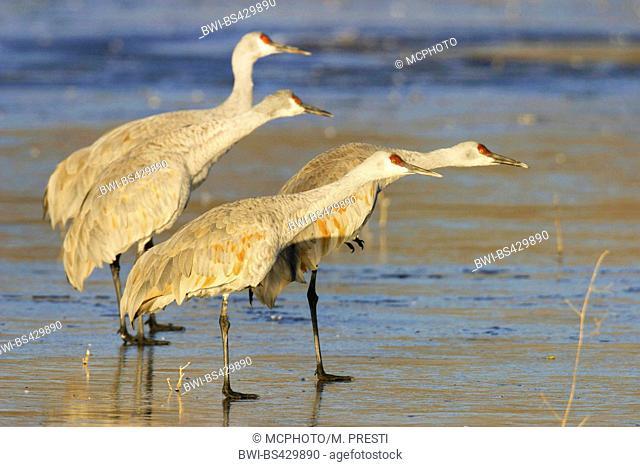 sandhill crane (Grus canadensis), four cranes on shore, USA, New Mexico, Bosque del Apache Wildlife Refuge