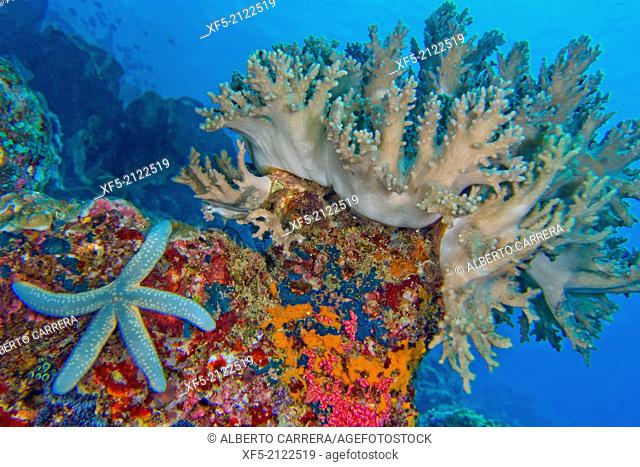 Coral Reef, Hard Coral, Lembeh,Blue Sea Star, Unckia laaevigata, Starfish, North Sulawesi, Indonesia, Asia