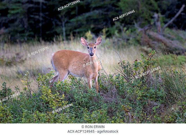 White-tailed Deer doe (Odocoileus virginianus), Barrie Island, Manitoulin Island, Ontario, Canada