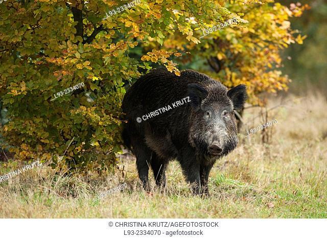 Wild Boar, Sus scrofa, Germany