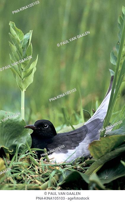 White-winged Tern Chlidonias leucopterus - Narew National Park, Narwianski Park Narodowy, Northeast Poland, Podlaskie, Podlachia, Poland, Europe