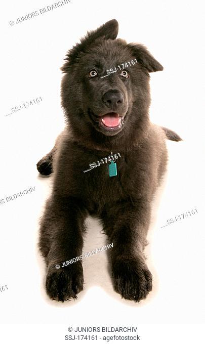 German Shepherd, Alsatian. Black juvenile laying. Studio picture against a white background