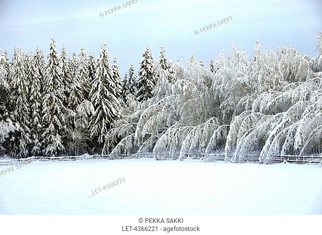 Forest bended by heavy snow, Southern Finland
