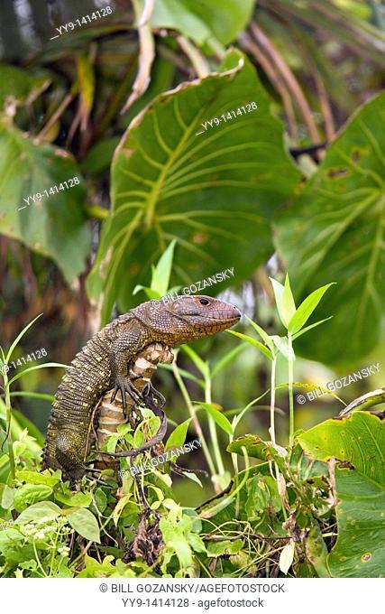 Caiman Lizard - Yasuni National Park - Napo Province, Ecuador