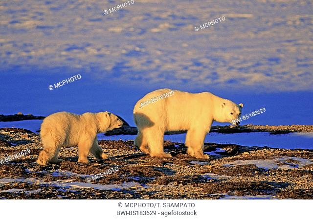 polar bear (Ursus maritimus), with pup, Canada, Manitoba, Hudson Bay, Churchill