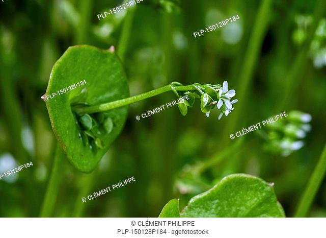 Spring beauty / miner's lettuce / winter purslane / Indian lettuce (Claytonia perfoliata / Montia perfoliata), native to North America