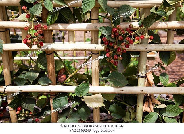 Blackberry Hurl at Babylonstoren farm near Franschhoek in Western Cape - South Africa