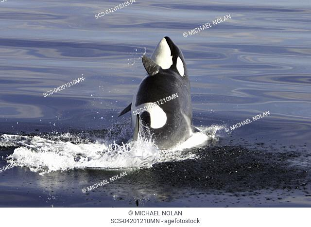 Young Orca Orcinus orca breaching in Chatham Strait, southeast Alaska, USA Restricted Resolution - please contact us