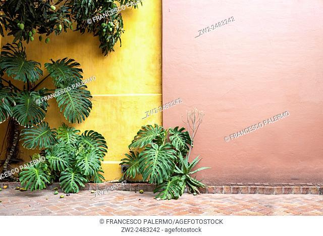 Big Monstera leafs on coloured background. Guadalajara, Jalisco. Mexico