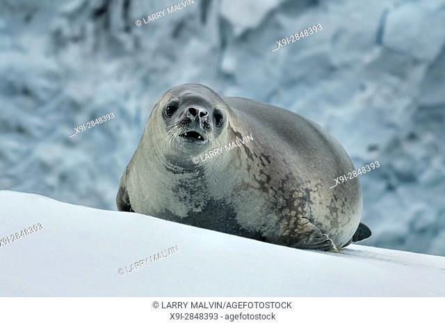 Weddell seal on a snowy hillside along the Antarctica Peninsula