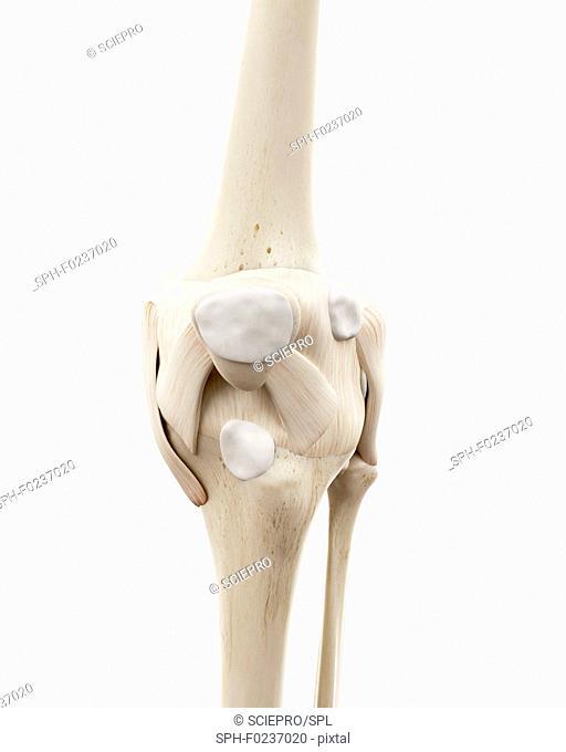 Illustration of the human knee bones