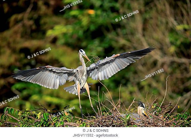 Great Blue Heron, (Ardea herodias), adult couple at nest with nesting material, social behaviour, Wakodahatchee Wetlands, Delray Beach, Florida, USA