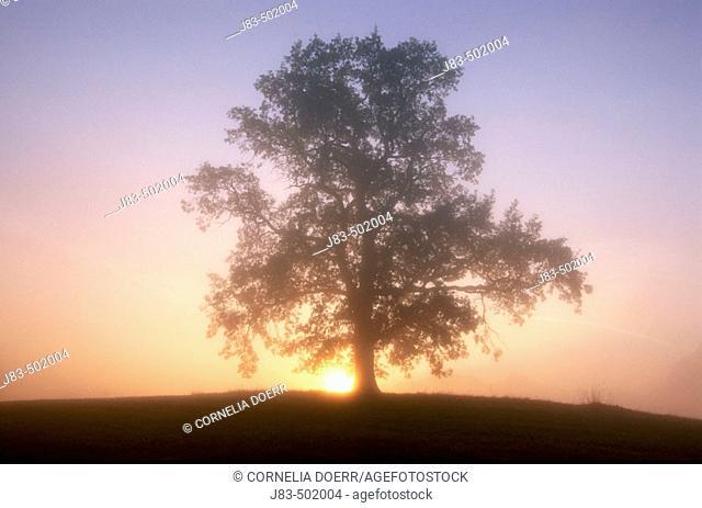 Oak tree at sunrise. Allgau, Bavaria, Germany