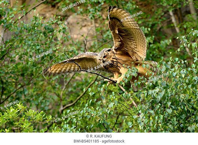 northern eagle owl (Bubo bubo), lands on a nranch, Germany, North Rhine-Westphalia, Sauerland