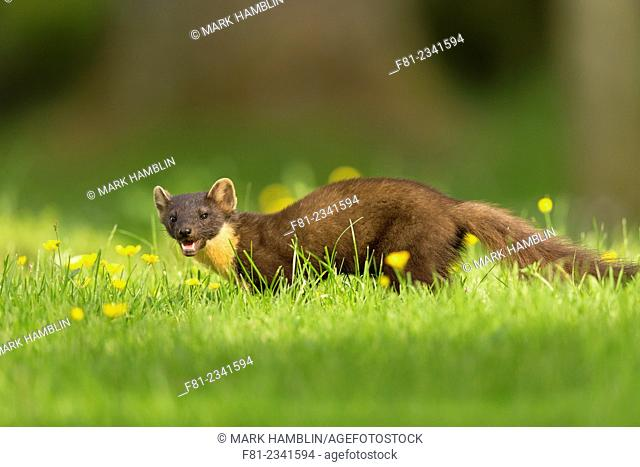 Pine Marten (Martes martes) on ground amongst buttercups