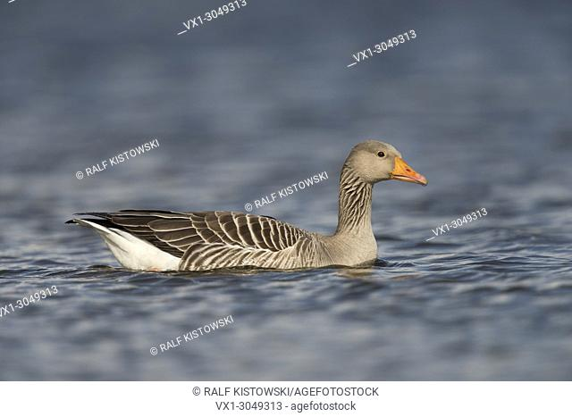 Greylag Goose / Graugans ( Anser anser ), one adult, swims close by, on blue waters, detailed side view, looks nicely