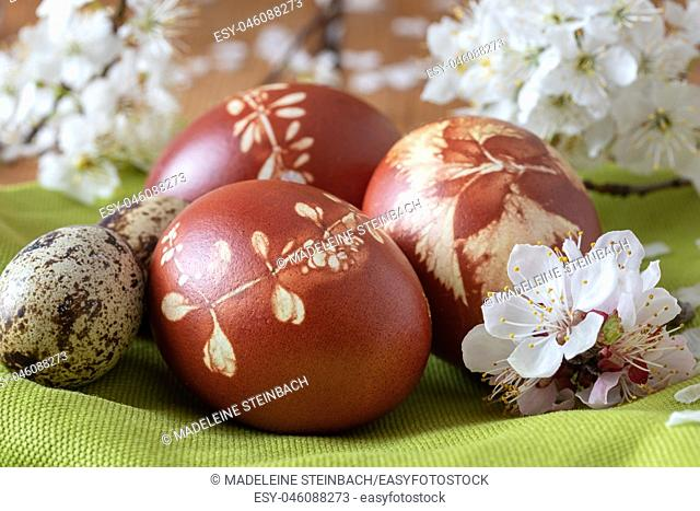 Quail and Easter eggs dyed with onion peels with a pattern of fresh herbs, with cherry blossoms