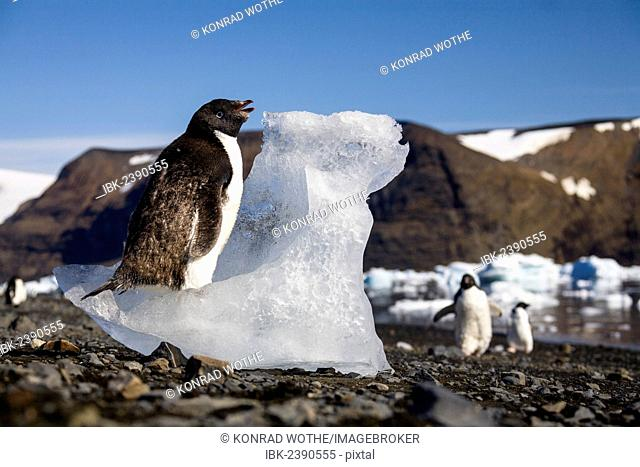 Young Adélie Penguin (Pygoscelis adeliae) moulting and eating ice, Devil Island, Weddell Sea, Antarctica