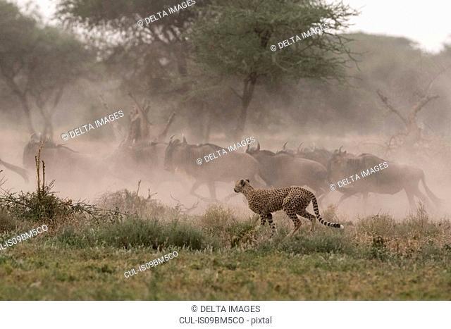 Cheetah (Acinonyx jubatus) hunting blue wildebeest (Connochaetes taurinus), Ndutu, Ngorongoro Conservation Area, Serengeti, Tanzania