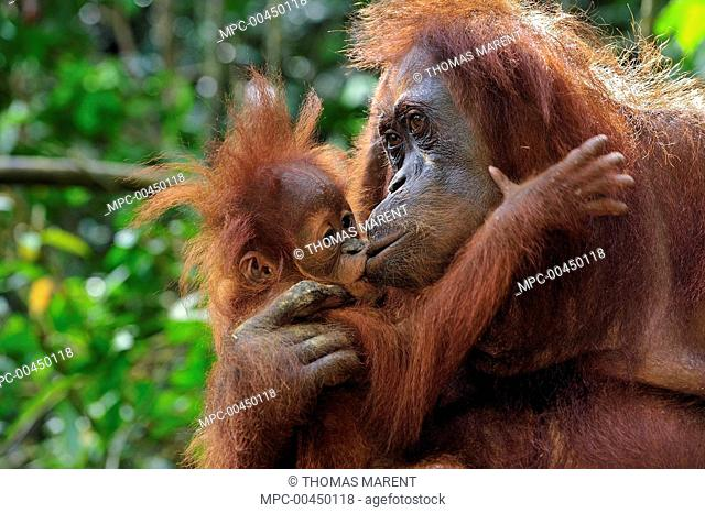 Sumatran Orangutan (Pongo abelii) mother kissing young, Gunung Leuser National Park, northern Sumatra, Indonesia