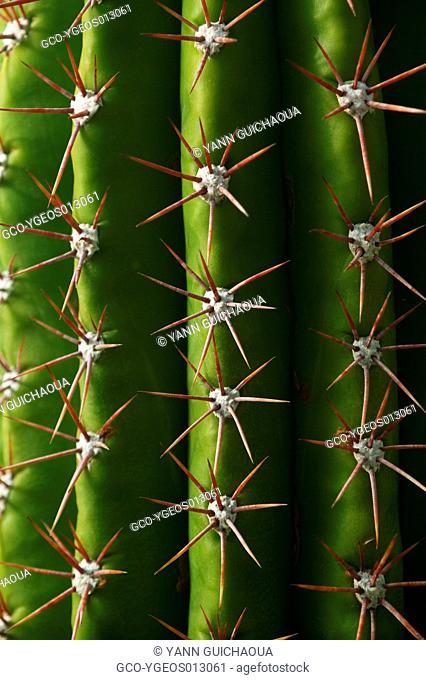 Cactaceae,Cactus