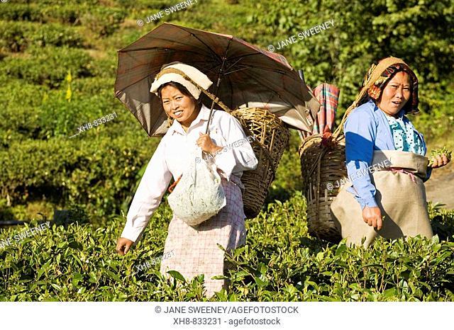 India,West Bengal,  Darjeeling, Happy Valley Tea Estate, Women tea picking
