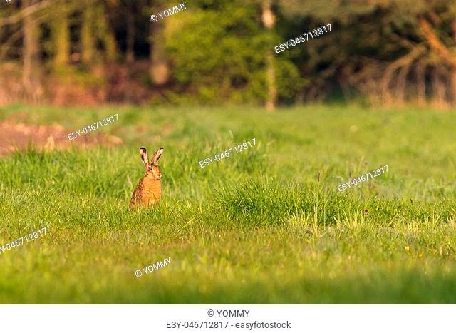 Horizontal photo with young wild hare which sits on the spring green meadow and eats a grass. Animal has nice light brown fur and big long ears