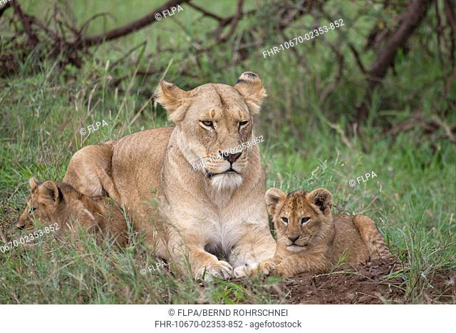 Lion Panthera leo adult female with two cubs, resting on ground, Serengeti N P , Tanzania, november