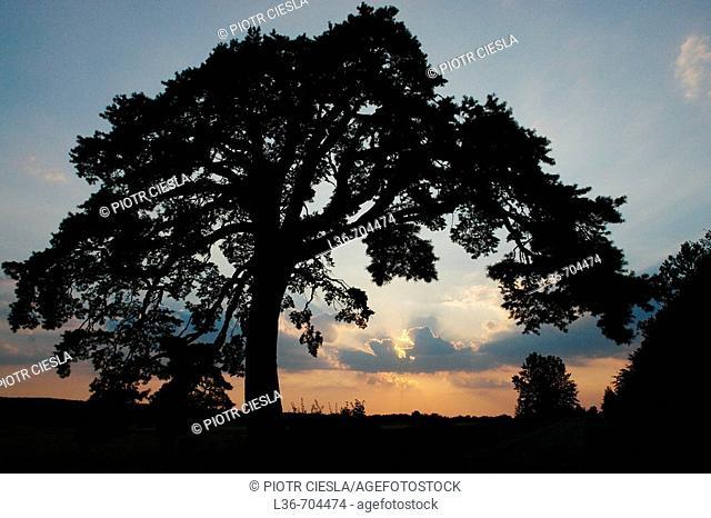 Old pine. Mielnik village in Podlasie region, Poland