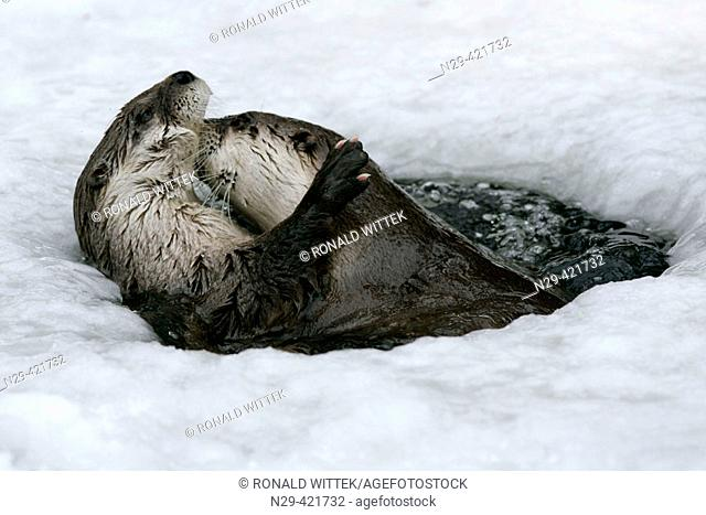 European Otter (Lutra lutra) playing in a icehole in winter, captive. Germany