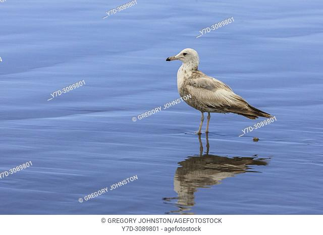 An immature ring billed gull, larus delawarensis, on the beach in Seaside, Oregon