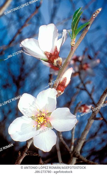 Almond tree flowers (Prunus amygdalus)