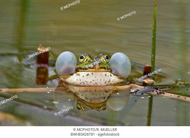 European edible frog, common edible frog (Rana kl. esculenta, Rana esculenta, Pelophylax esculentus), with vocal sacs, Germany, Schleswig-Holstein