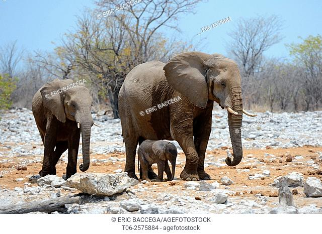 African elephant female staying next to her very young calf (Loxodonta africana) Etosha National Park, Namibia, Africa