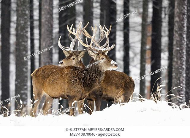 Red Deer - bucks in snow covered landscape (Cervus elaphus). Germany
