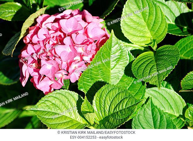 Delicate romantic hortensia