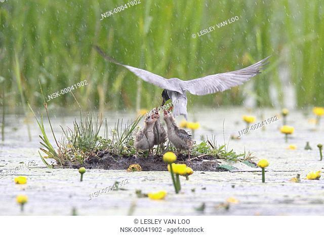 Black Tern (Chlidonias niger) feeding chicks a dragonfly, The Netherlands, Utrecht