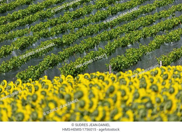 France, Tarn et Garonne, near Moissac, on the hillside Moissac Chasselas AOC Vines
