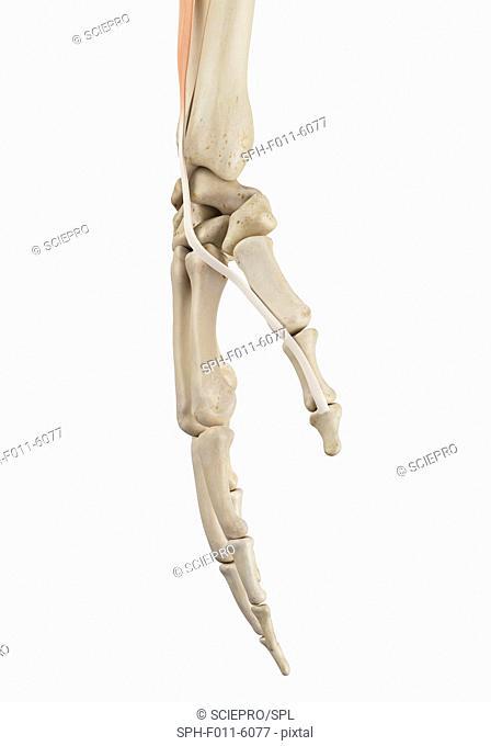 Human hand anatomy, computer illustration