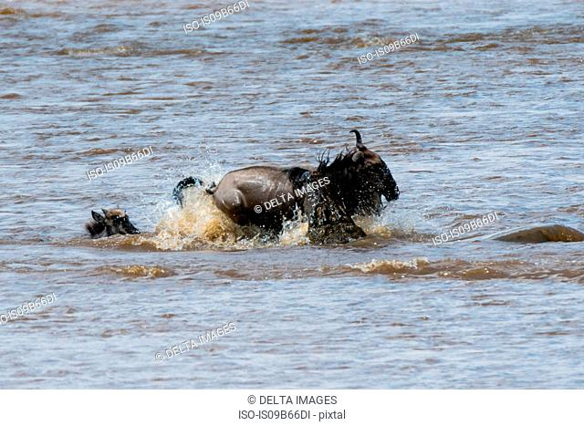 Nile crocodile (Crocodylus niloticus) attacking a gnu (Connochaetes tautinus) in the Mara river, Masai Mara National Reserve, Kenya, Africa