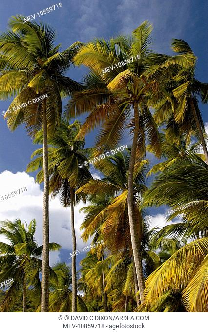 Palm Trees - Group of palm trees on Marigot Bay. St. Lucia, Windward Islands