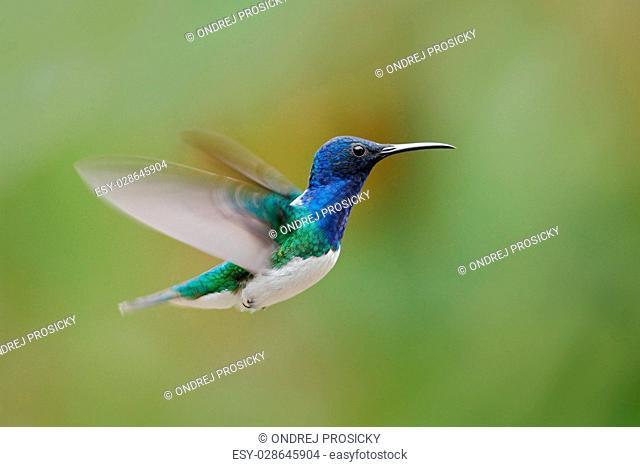 Flying blue and white hummingbird White-necked Jacobin, Florisug