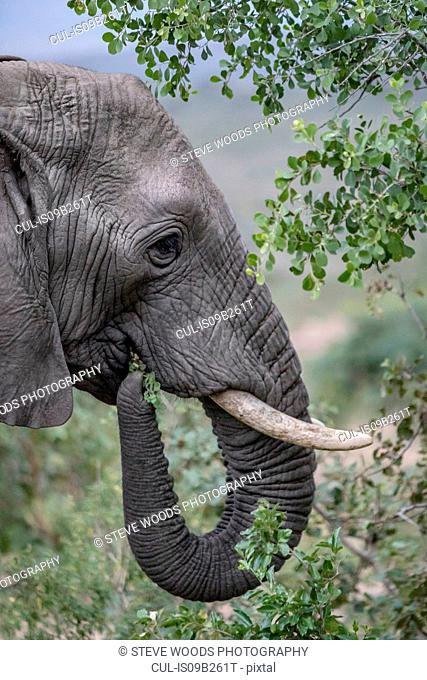 Wild African Elephant eating leaves, Hluhluwe-Imfolozi Park, South Africa